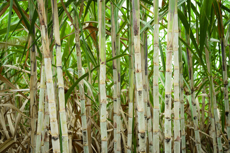 Sugar cane field before harvesting in Thailand