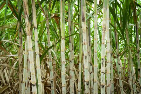 sugar cane farm: Sugar cane field before harvesting in Thailand