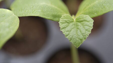 seeding: Close up on green leaf with water drop; melon plantation; seeding melon