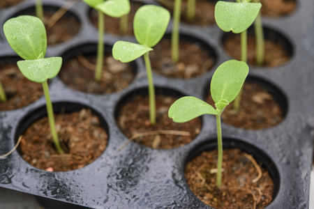 seeding: Melon plantation seeding; Close up on a melon sprout in the nursery tray; Melon leaf