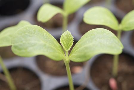 seeding: Melon plantation seeding; Close up on melon sprout; nursery melon leaf Stock Photo