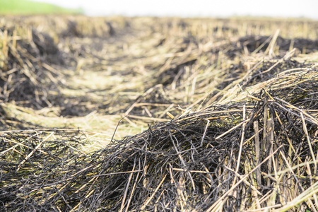 Burned straw in the rice field; Global warming problem Stock Photo