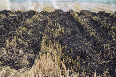 Burned straw in the rice field; Global warming problem; Fire in rice field