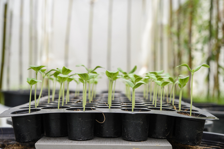 seeding: Melon plantation seeding; Close up on melon sprout; Melon nursery Stock Photo