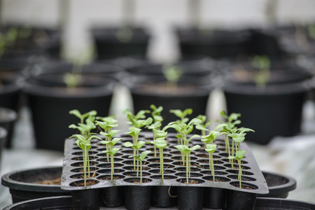 Melon plantation seeding and Close up on a melon sprout in the nursery tray with green house background Stock Photo