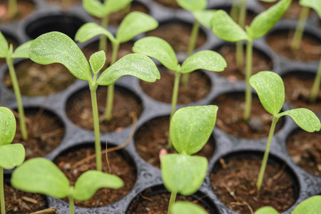 Melon plantation seeding; Close up on a melon sprout in the Nursery tray
