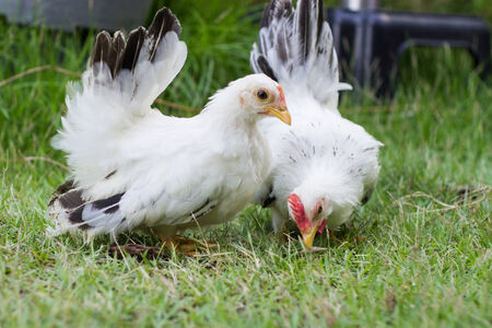 phasianidae: Two white chickens on green grass