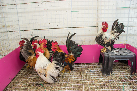 bantam hen: Colorful Rooster. Cock. Bantam Stock Photo