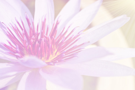 lilia: beautiful lotus flower background, Symbol of nature