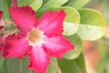 clima tropical: Flor tropical rosada Adenium. Rosa del desierto. rosa del desierto de flores de clima tropical Foto de archivo
