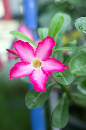 tropical climate: Pink Desert Rose or Impala Lily or Mock Azalea flower from tropical climate Stock Photo