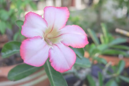 mock azalea: Desert Rose or Impala Lily or Mock Azalea flower Stock Photo
