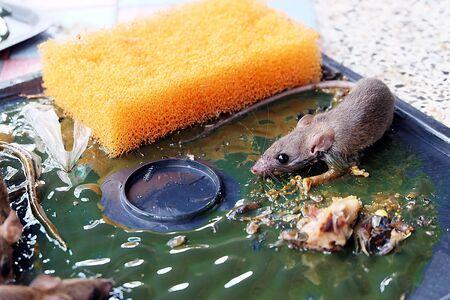 entrap: rat on rat glue trap