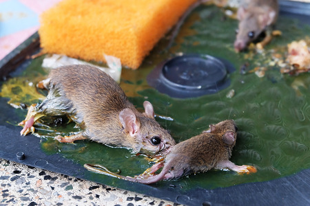 traps: Three rats in rat glue traps.