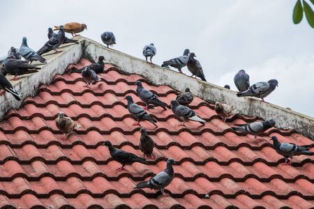 pidgeon: Pigeons in the park. perched on the roof.