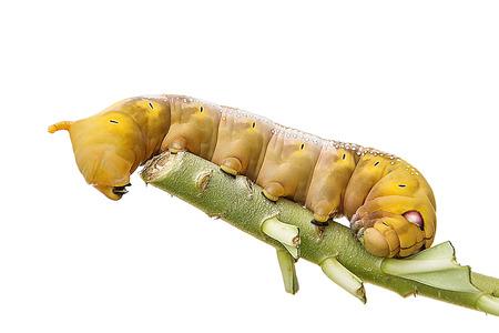 ワームは白背景にツツジの葉を食べる毛虫
