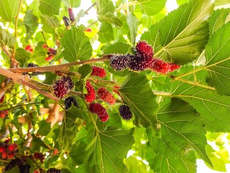 Organic Mulberry fruit on the tree blured. Black ripe and red unripe mulberries on the branch of tree. fresh mulberry provides fiber and nutrients highly beneficial.