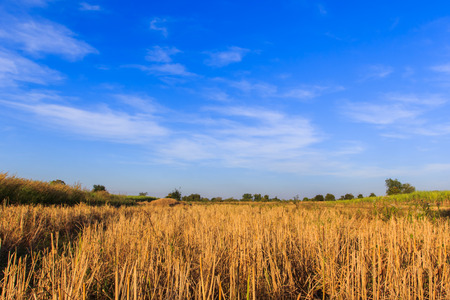 mellowness: field of grass. meadow wheat under sky backgrounds
