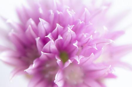 cebolleta: cebolletas florecen macro