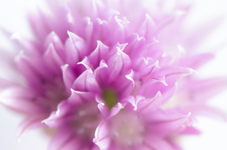 chives: chives bloom macro