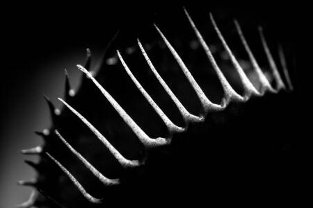 venus: black and white venus flytrap macro Stock Photo