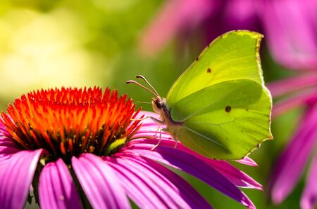 rhamni: Brimstone butterfly in closeup shot