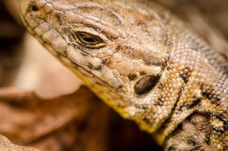 saurian: European wall lizard Stock Photo