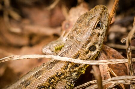 reptilian: European wall lizard Stock Photo