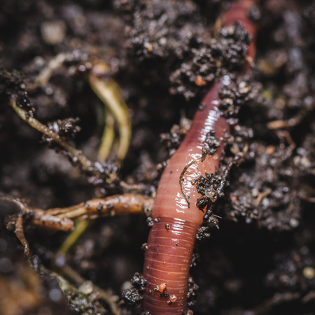 earthworms: earthworms in soil Eisenia fetida