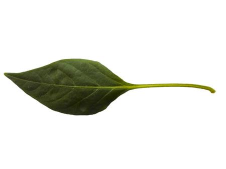 arboles frondosos: una hoja del árbol sobre un fondo blanco