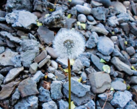 dandelion and gravel stone focus and blurred background. Granite stones textured background. A lot of small stones and one dandelion.