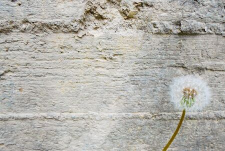 gray concrete wall and one dandelion, rough concrete surface Stockfoto