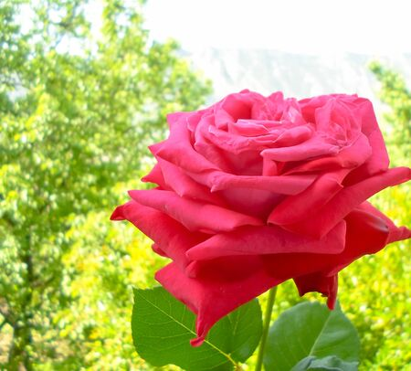 red rose a on the window leading to the garden