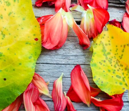 yellow apricot leaves and rose petals on a wooden board. place for text