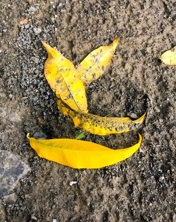 yellow leaves of an apricot tree on dry ground, autumn leaf fall. Autumn concept