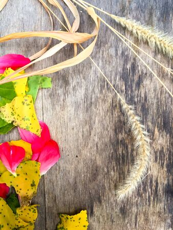 Yellow ear of wheat and yellow apricot leaves and rose petals on a wooden board, place for text Stockfoto