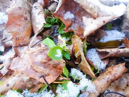 dry and green leaves under a layer of snow on a winter day. snowfall in early winter