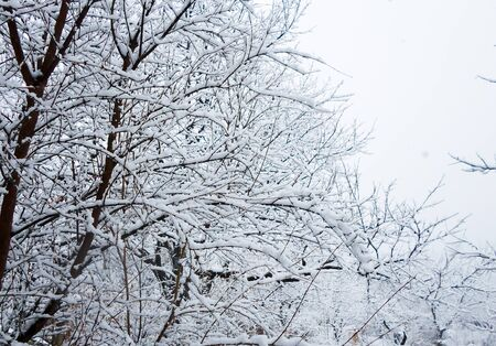 first snow, a thick layer on the branches and buds, incredibly beautiful background, natural refinement, white layers, shades, contrast, winter is near, the cold is here, calm peaceful texture Stockfoto