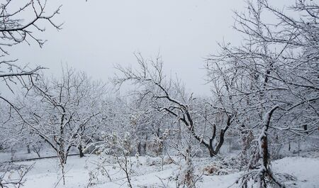 a lot of white snow on the branches of apricot trees. Winter cold on a December day. winter landscape.