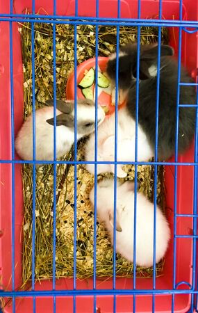 Rabbits in a red-blue cage. Rabbit breeding concept