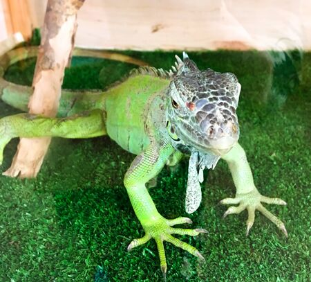 green lizard on a green lawn in a cage in the zoo. contact zoo for children. animals in captivity Stockfoto