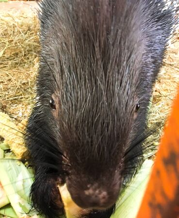 One crested porcupine in a cage. A close up view of a porcupine eating a watermelon. A hedgehog is sitting in a zoo.