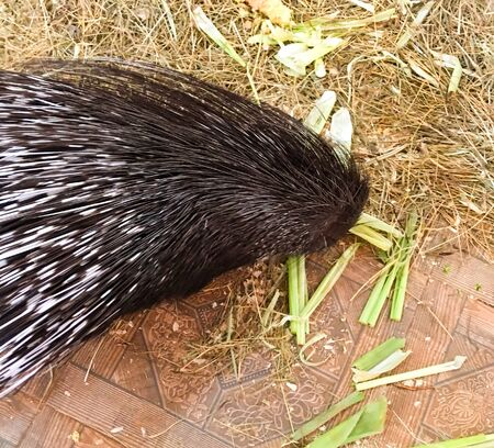 cute porcupine in the cage. contact zoo for children. beautiful porcupine needles. black and white porcupine fur