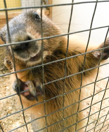 a groundhog in a zoo holds a cage in his paws. contact zoo for children. animals in captivity. marmot in a cage Stockfoto