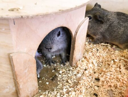 hamsters and guinea pigs in a zoo are resting in a house. contact zoo for children. animals in captivity