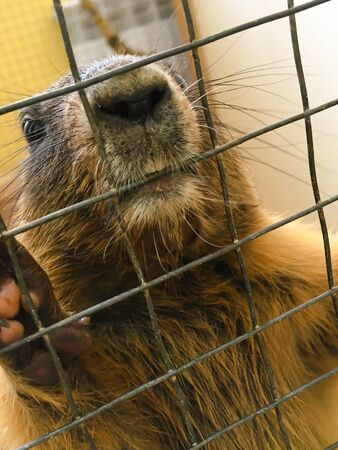 a groundhog in a zoo holds a cage in its paws. contact zoo for children. animals in captivity. groundhog in a cage.