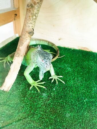 green lizard on a green lawn in a cage in the zoo. contact zoo for children. animals in captivity Stock Photo