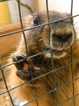 Groundhog peeks out of a cage in a zoo.groundhog holds the cage with its paws.