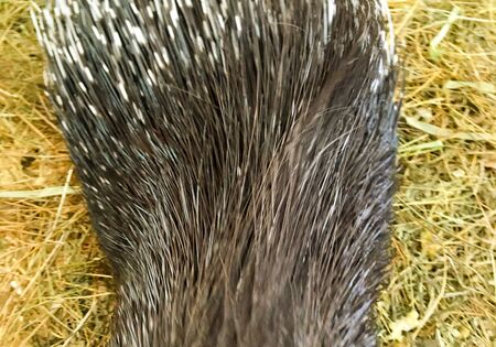 porcupine in a cage in the zoo. animals in captivity. animal welfare Banco de Imagens