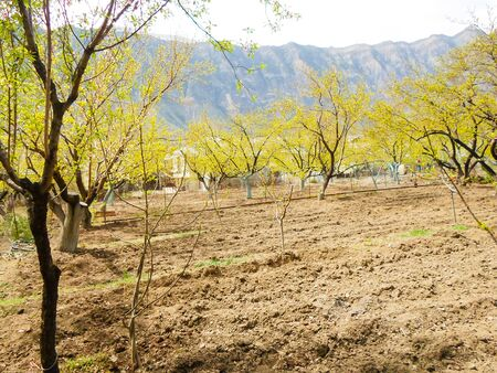 shoots and green leaves on apricot trees in the garden. plowed land for fencing. Wessen landscape apricot orchard. plowing in the spring Foto de archivo - 142288542